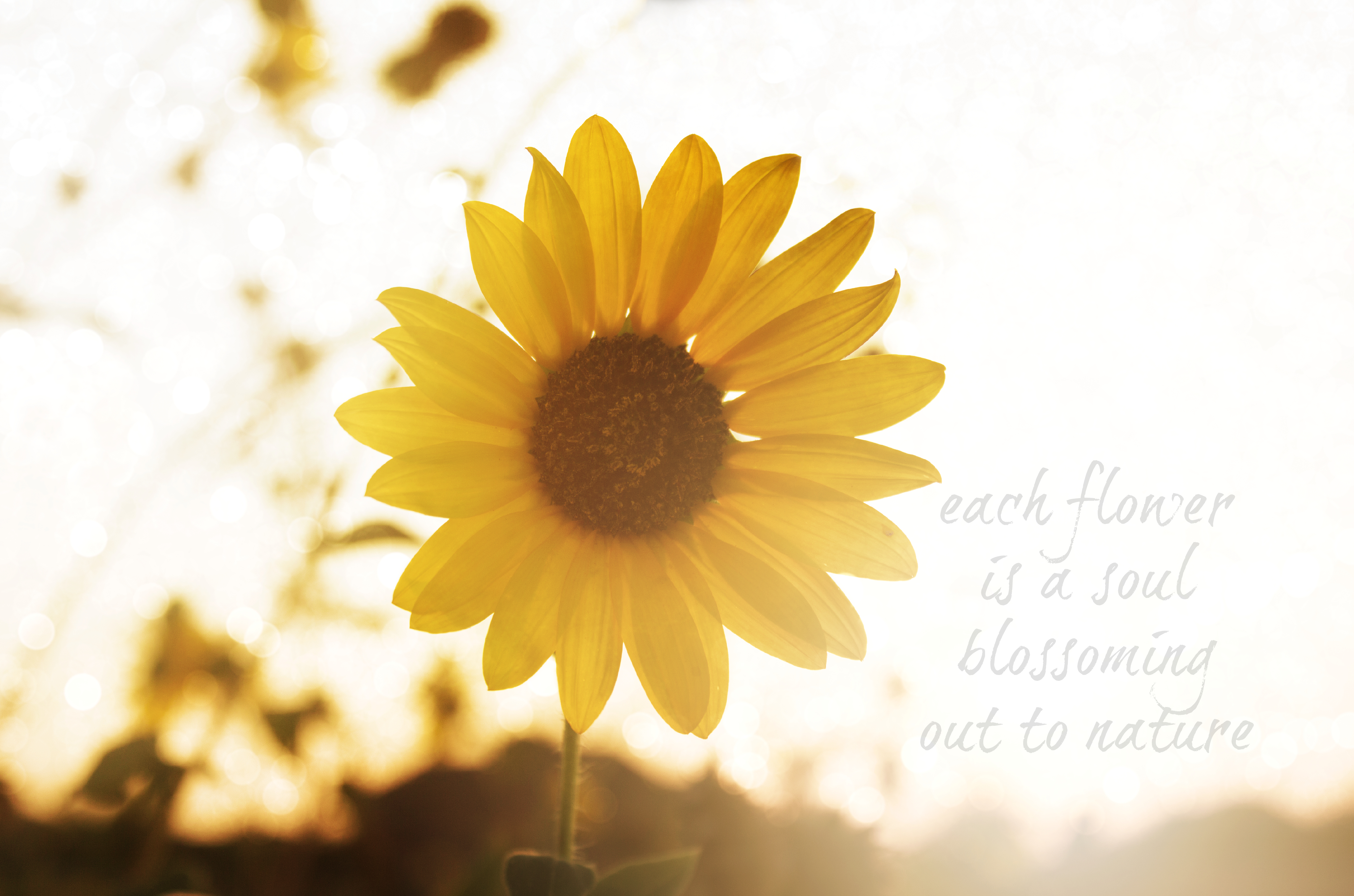 Goodbye sunflowers… for now ~ Fort Worth Photographer | DLM ...